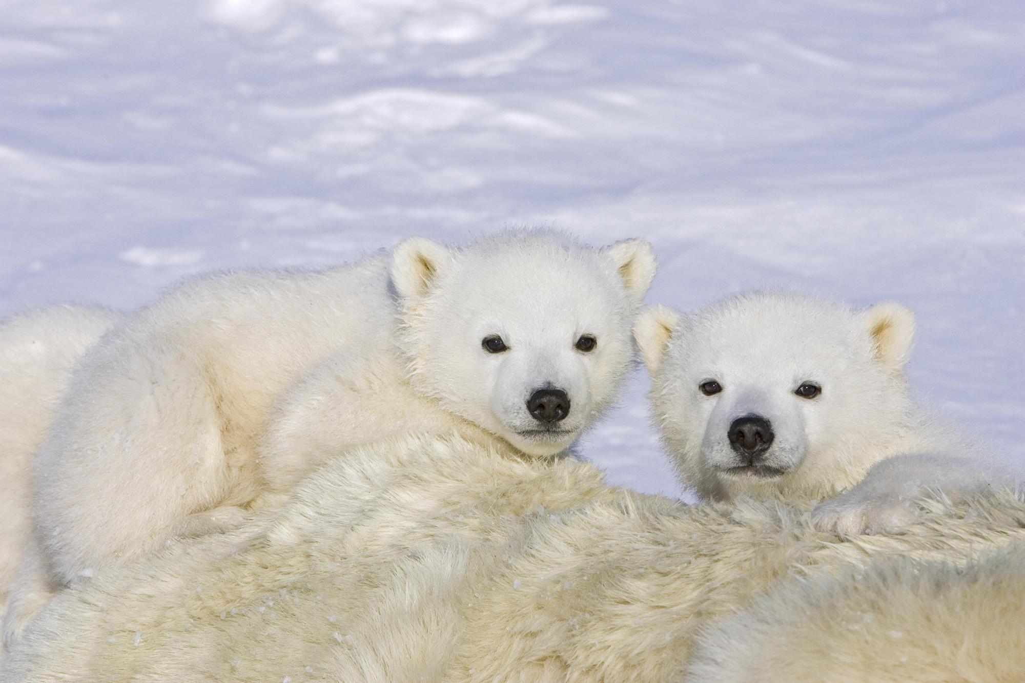 Polar Bear HD Wallpapers For Iphone 5 IOS 7 Bears Polar Bears Hd 2000x1333