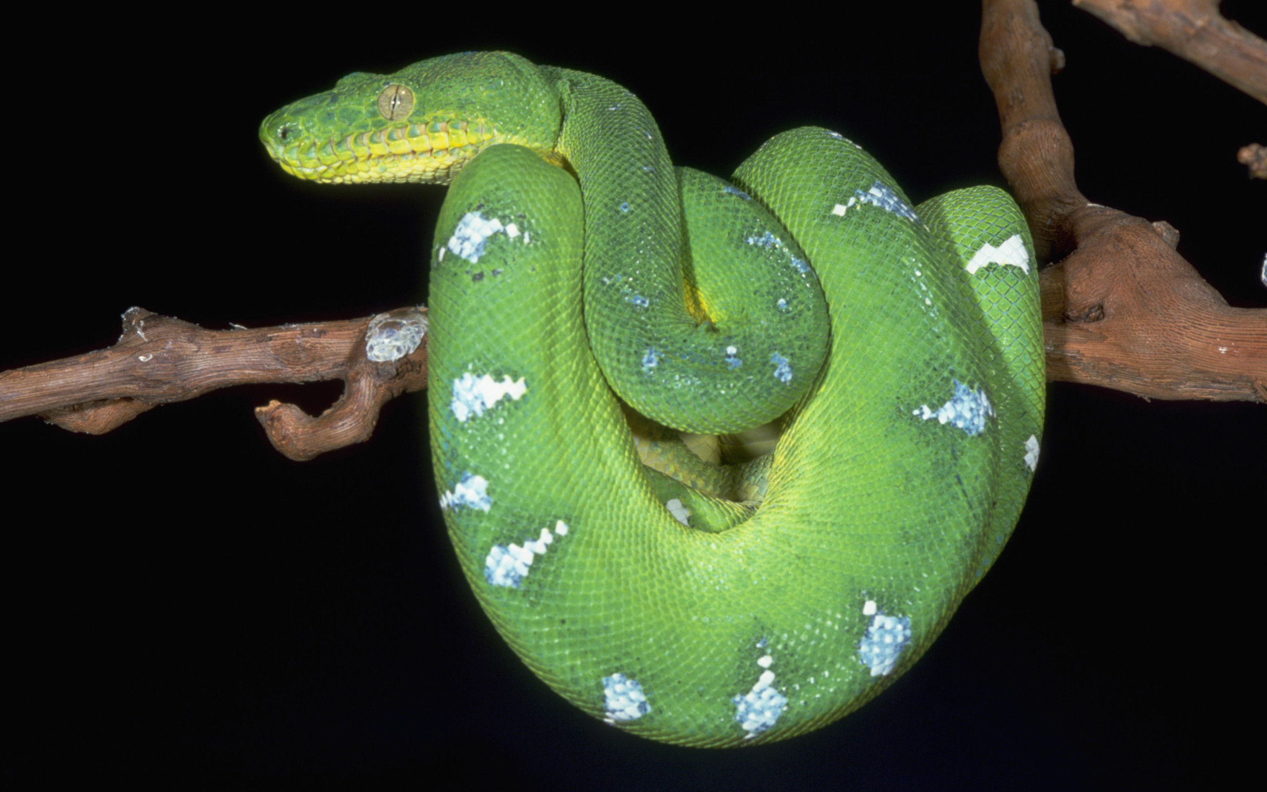 7 Emerald Tree Boa HD Wallpapers Background Images 2560x1600