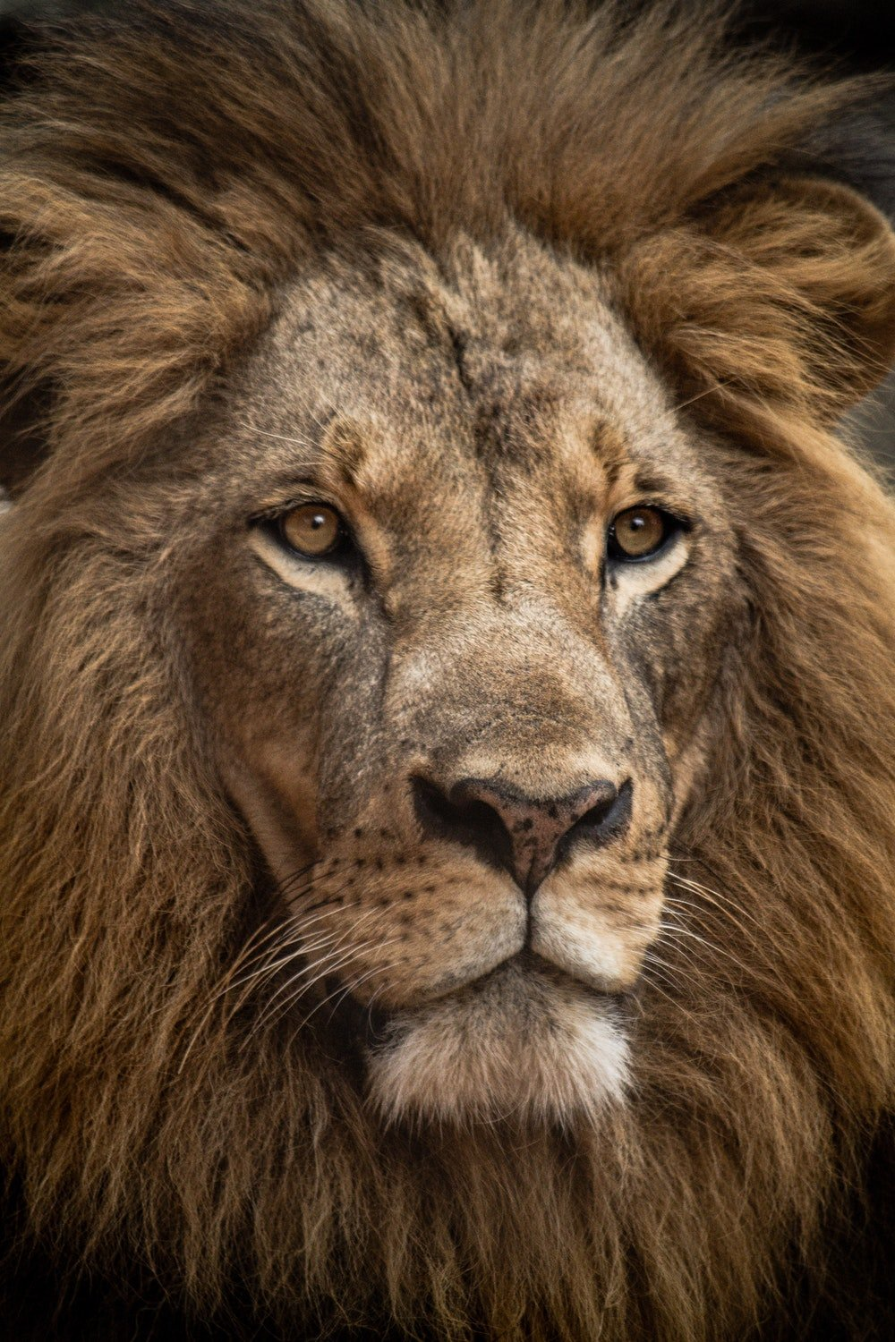 20 Lion Pictures Images Download Images Stock Photos 1000x1500