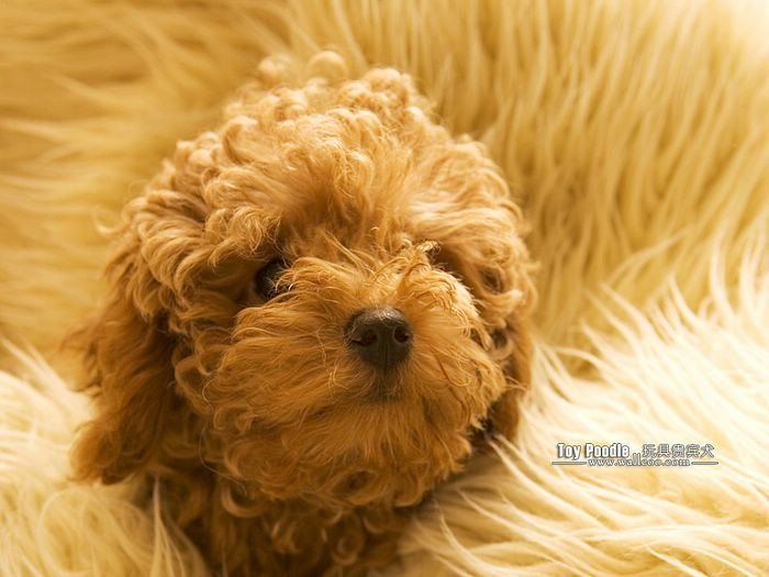 Cuddly Puppies   Toy Poodle Puppy Wallpapers Lovable Toy Poodle 700x525