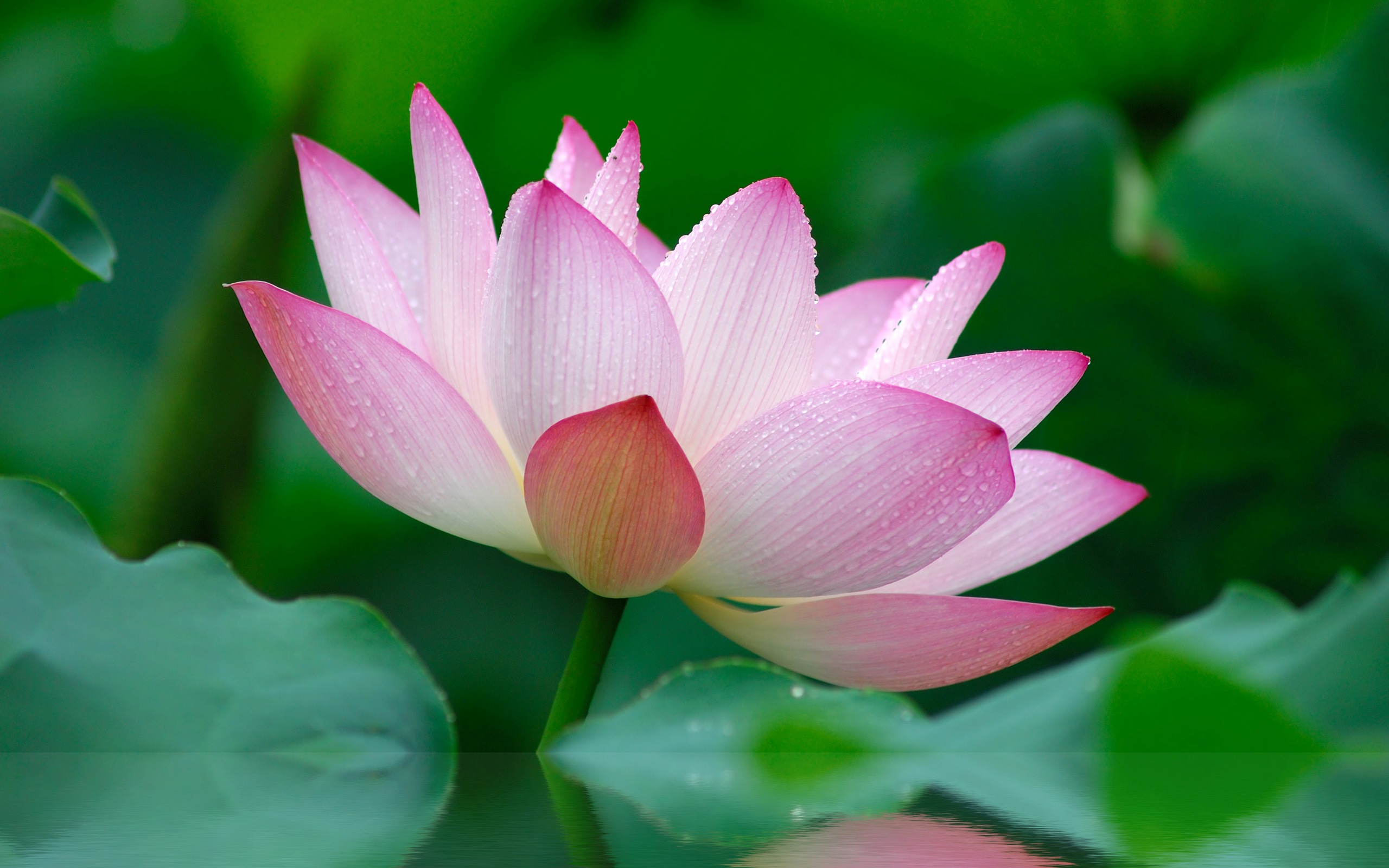 Apple Lotus Flower Wallpaper Wallpapersafari