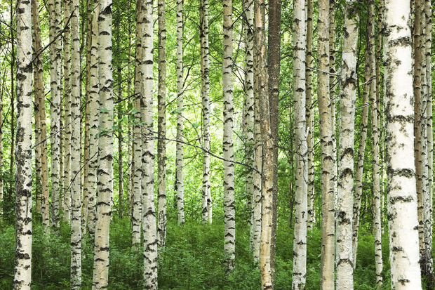 Clear Birch Forest   Wall Mural Photo Wallpaper   Photowall 620x413