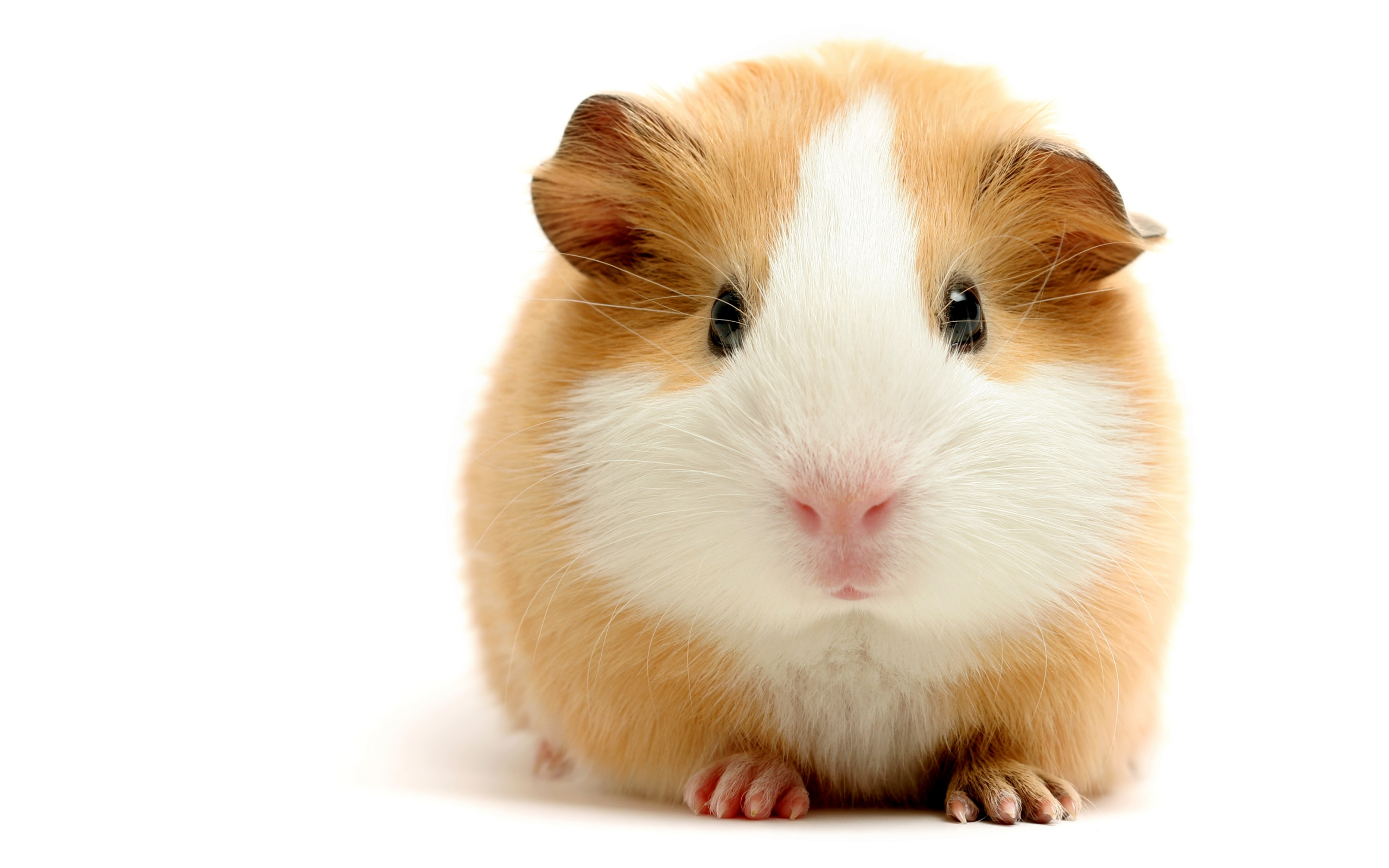 Hamster Wallpaper 2560x1600 2560x1600