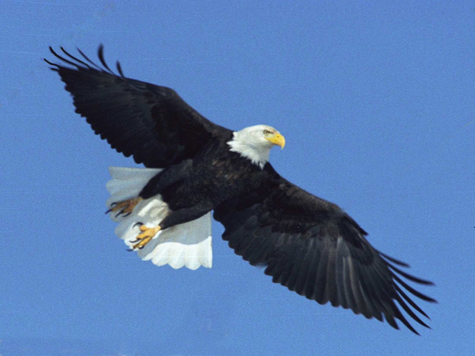 Free Download Bald Eagle Wallpapers For Android Eagle