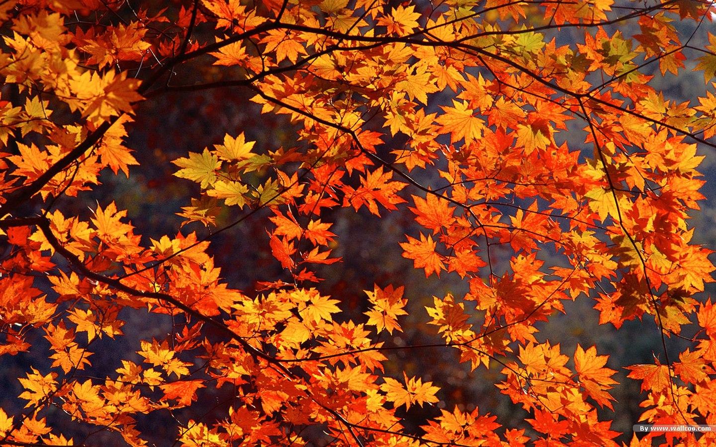 18164 desktop wallpaper autumn leaves 1440x900