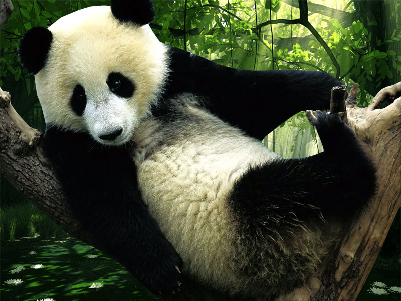 Panda Desktop Wallpapers Wallpaper HD And Background 800x600