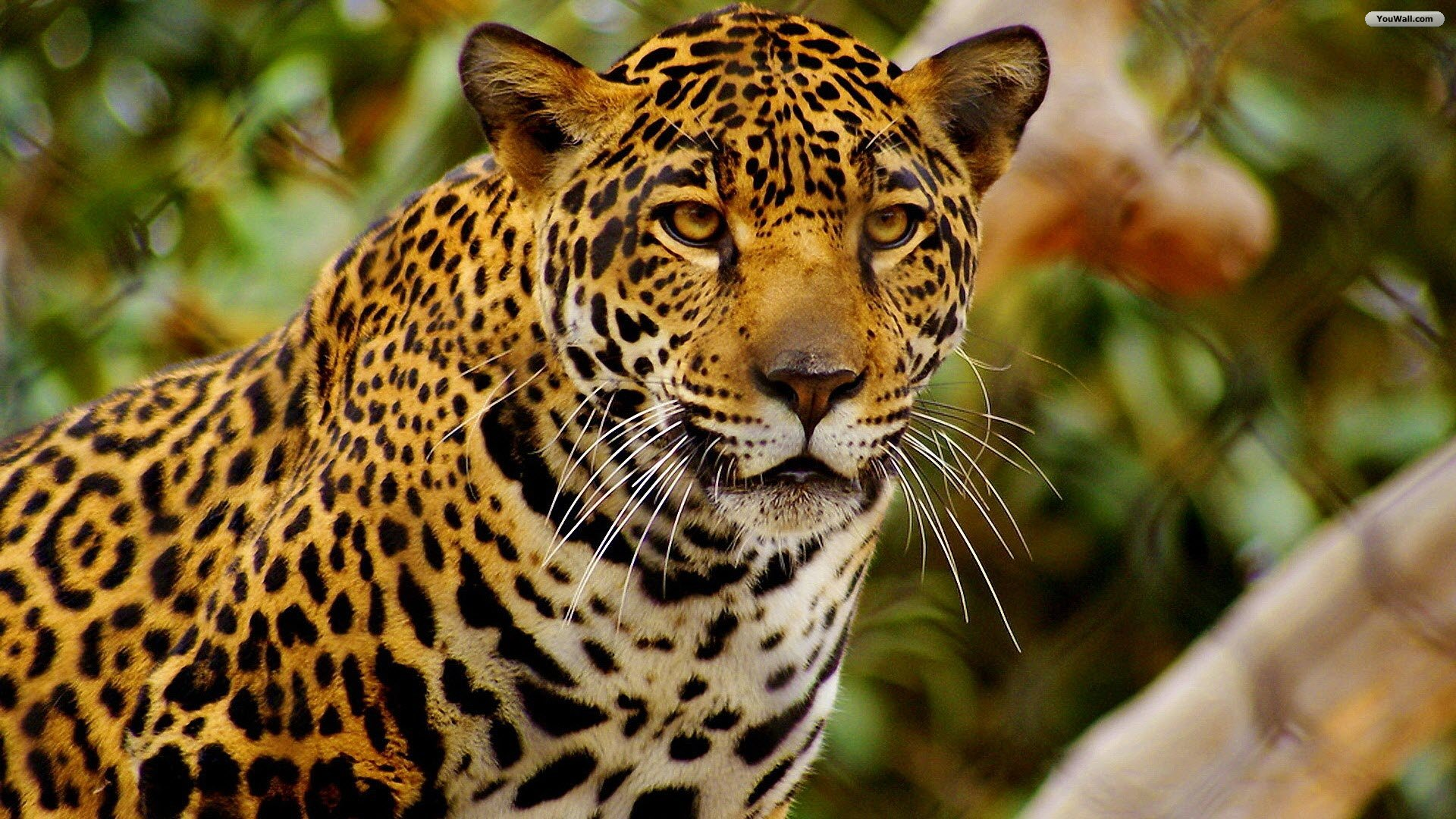 Wallpaper Jaguar 1920x1080