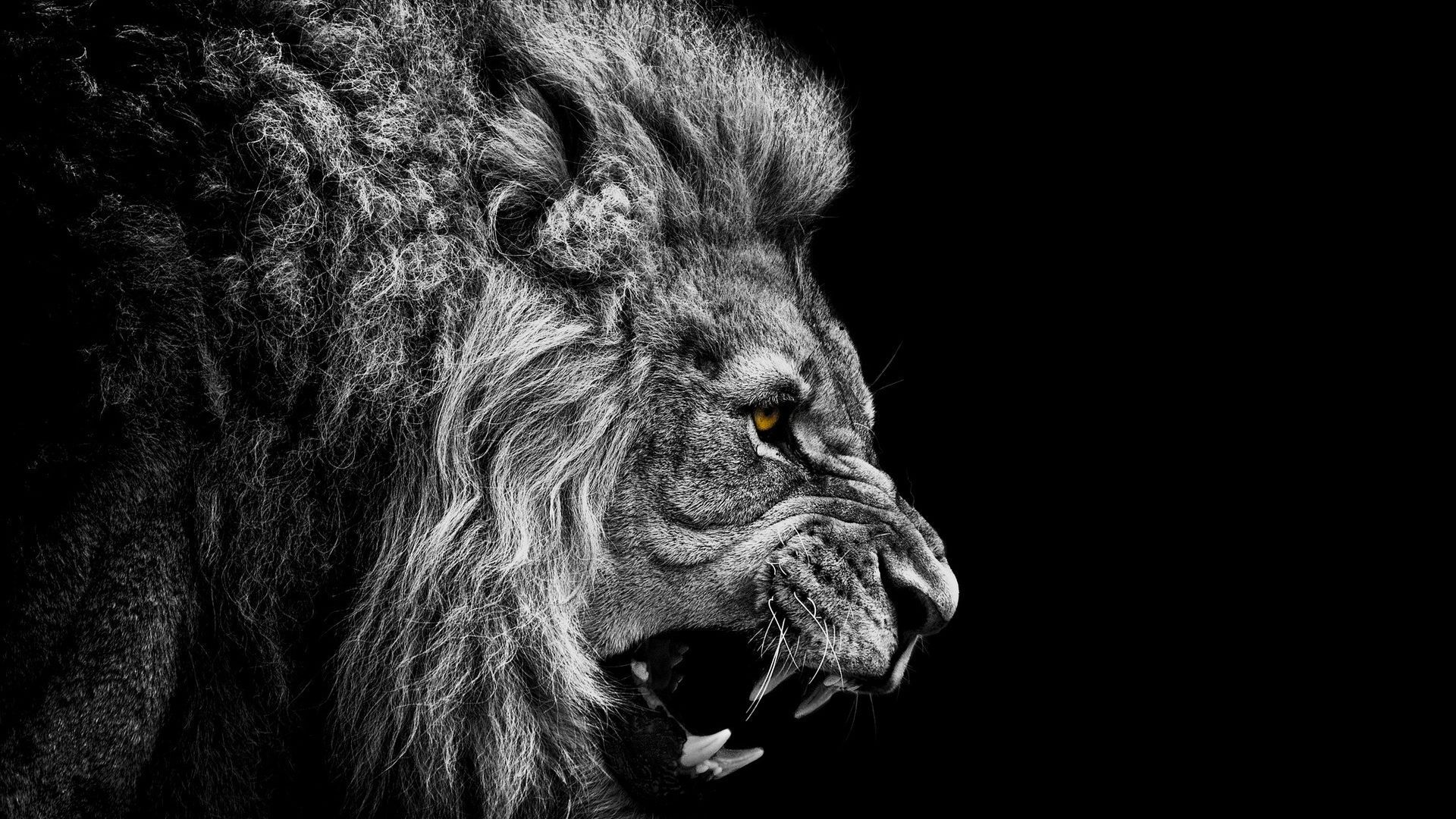Lion Wallpaper 4   Resolution19201200 1920x1080