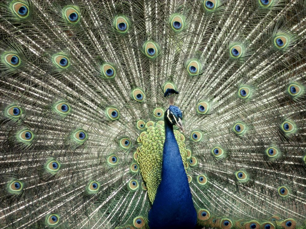 of India Peacock Indian Blue Peacock Wallpaper Blue Peacock 989x742