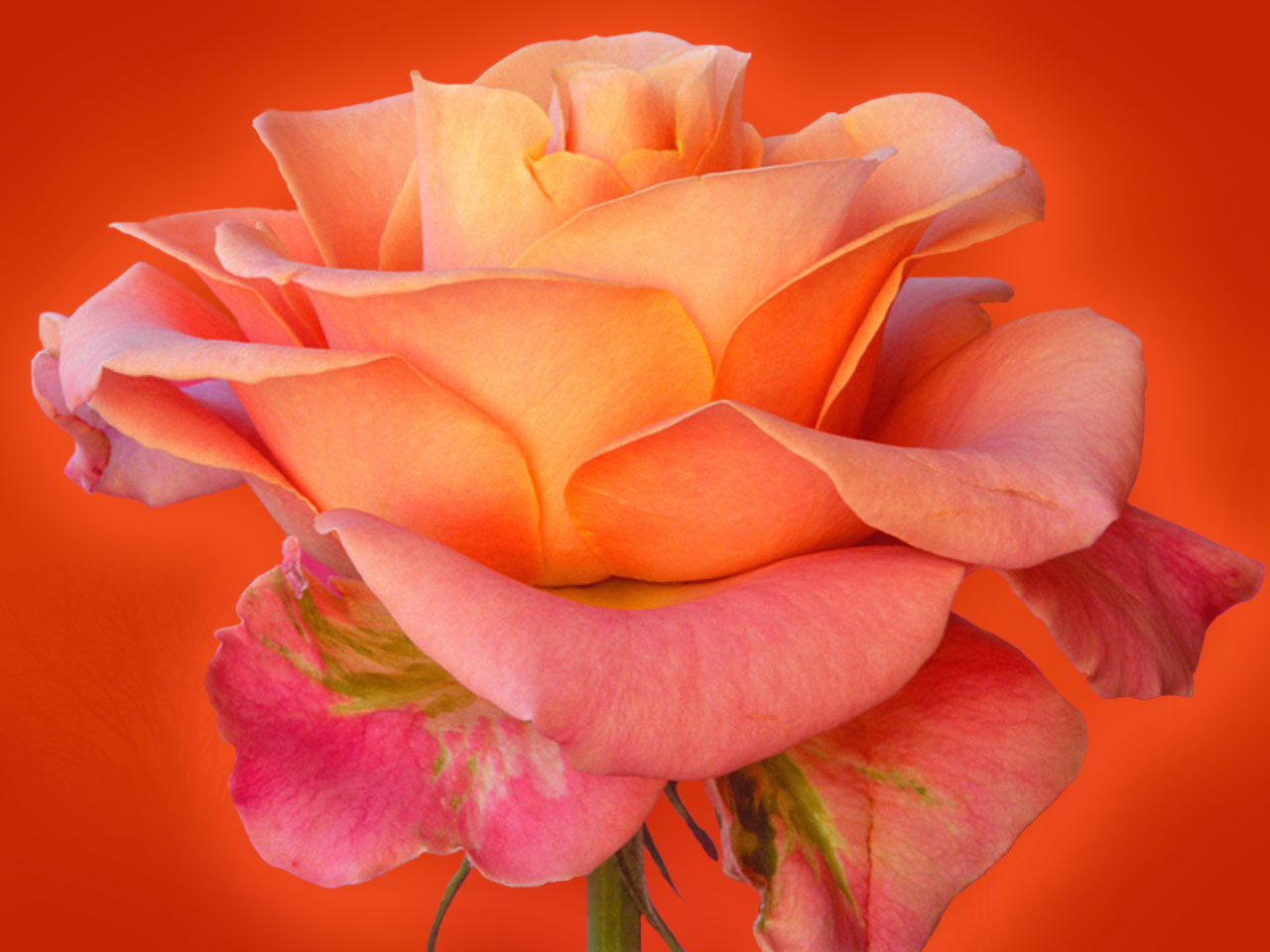 rose wallpapers rose wallpaper beauty rose wallpaper red rose 1280x960