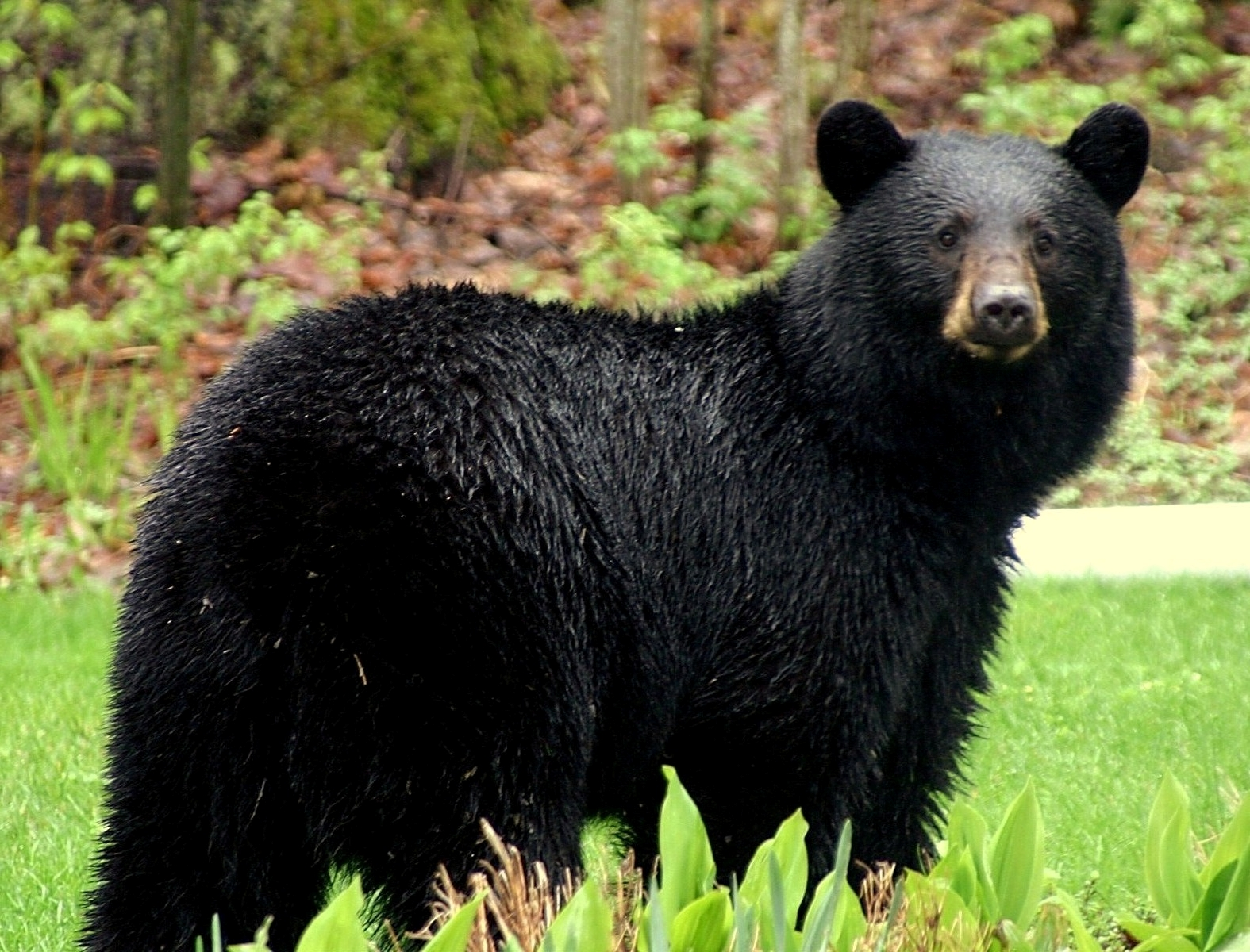 Biggest black bear in the world