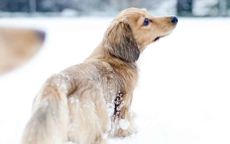 winter snow animals dogs pets Animals Dogs HD Desktop Wallpaper 800x500