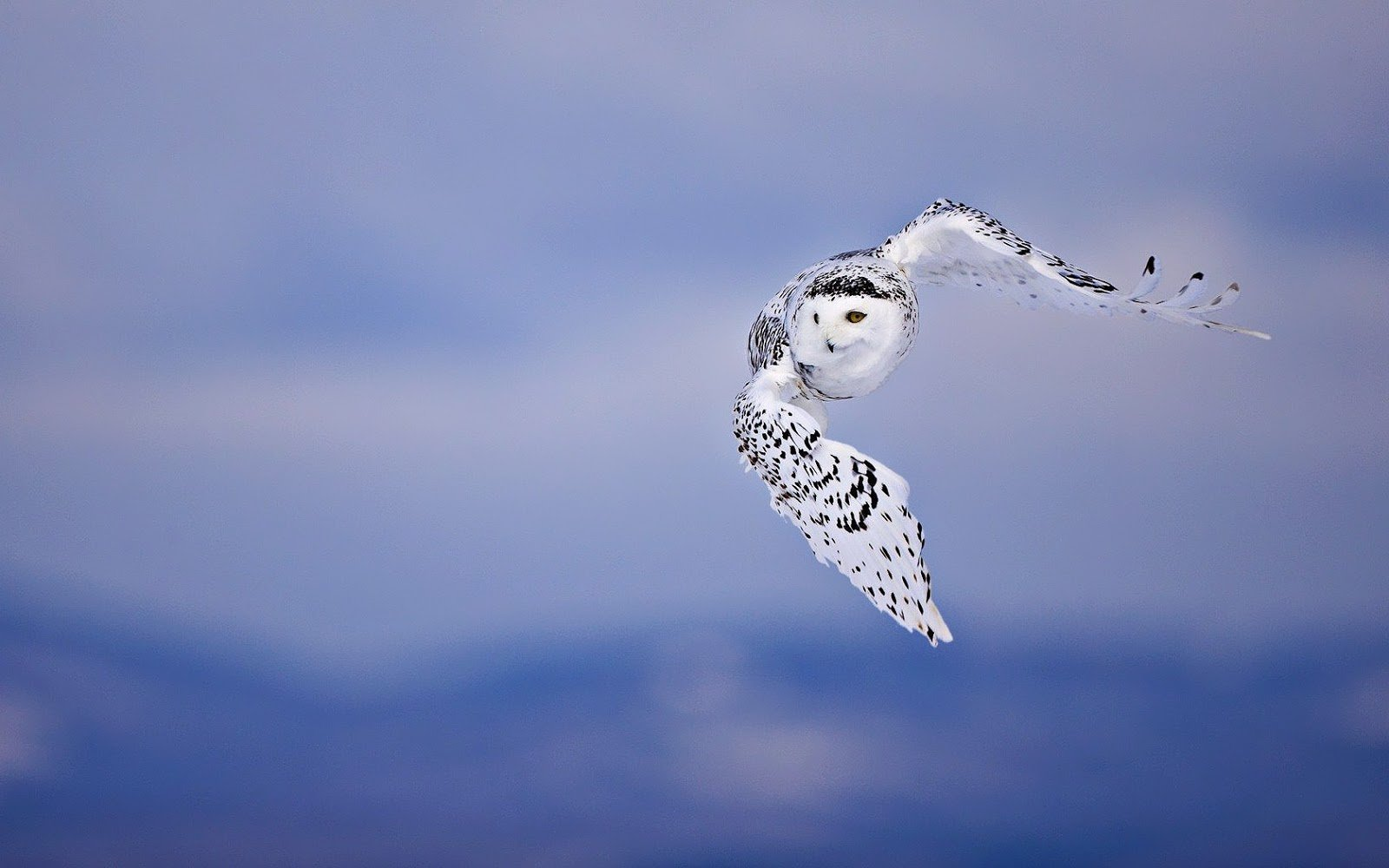 Flying Owl HD Wallpapers Live HD Wallpaper HQ Pictures Images 1600x1000