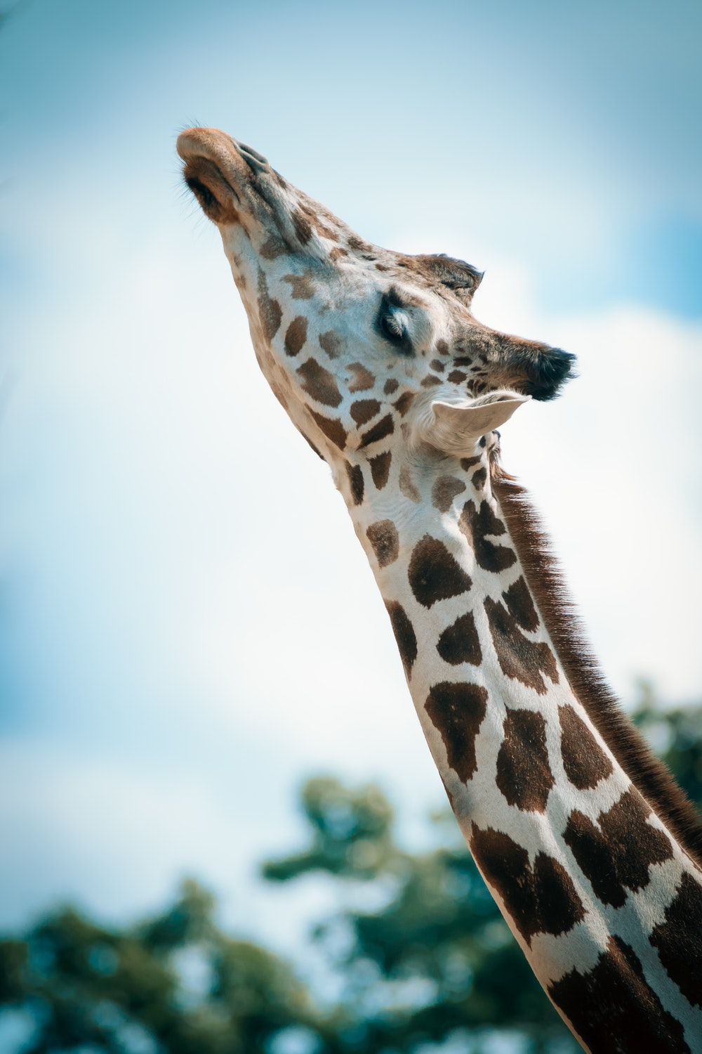 500 Giraffe Pictures [HD] Download Images on Unsplash 1000x1500