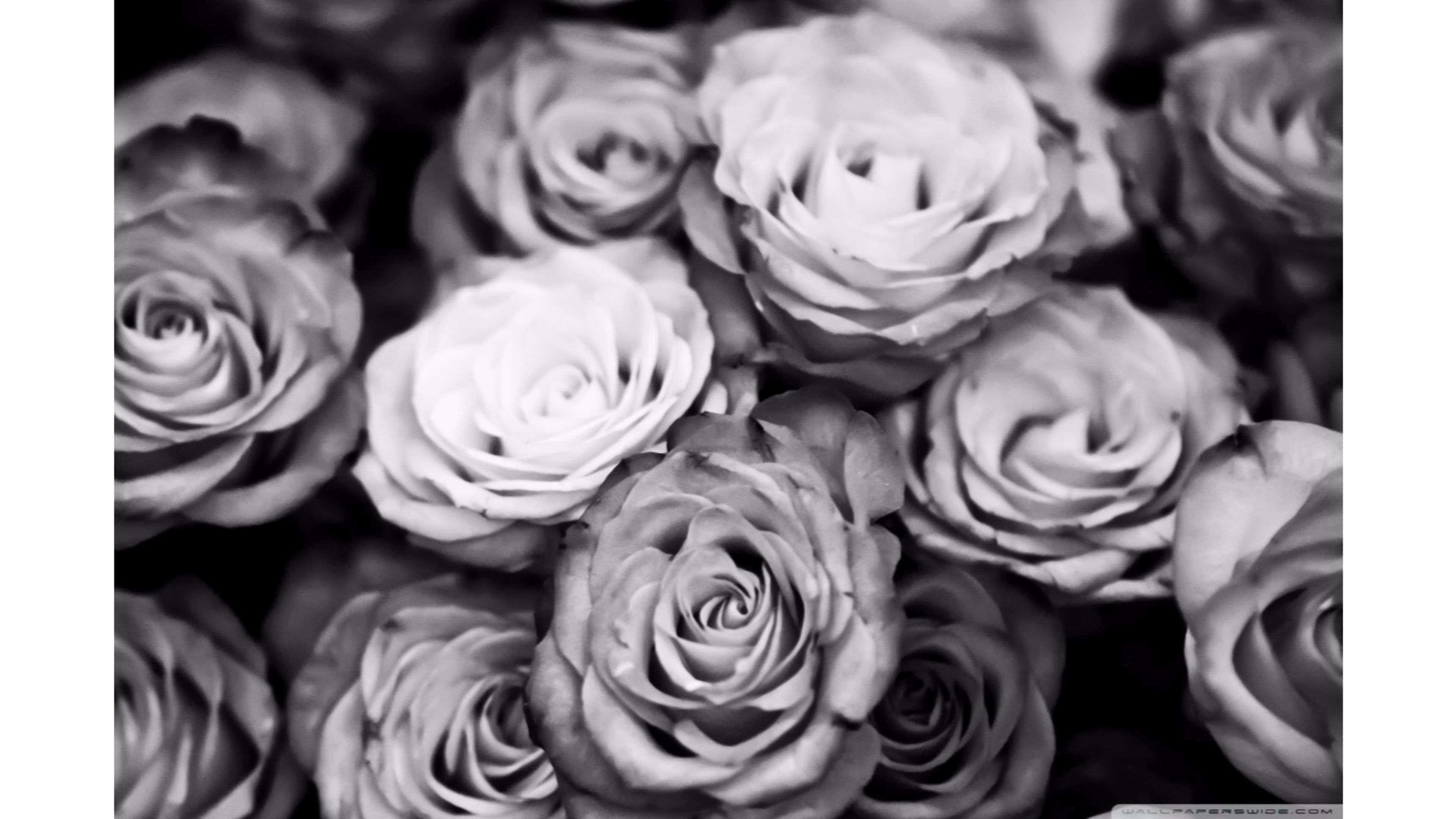 Free Download Black And White Roses Wallpaper 4k 4k