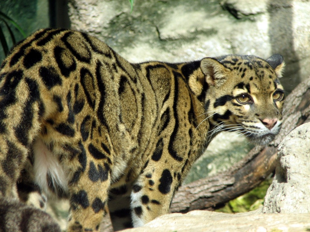 Clouded Leopard Wallpaper Hd Wallpapers Download 1024x768