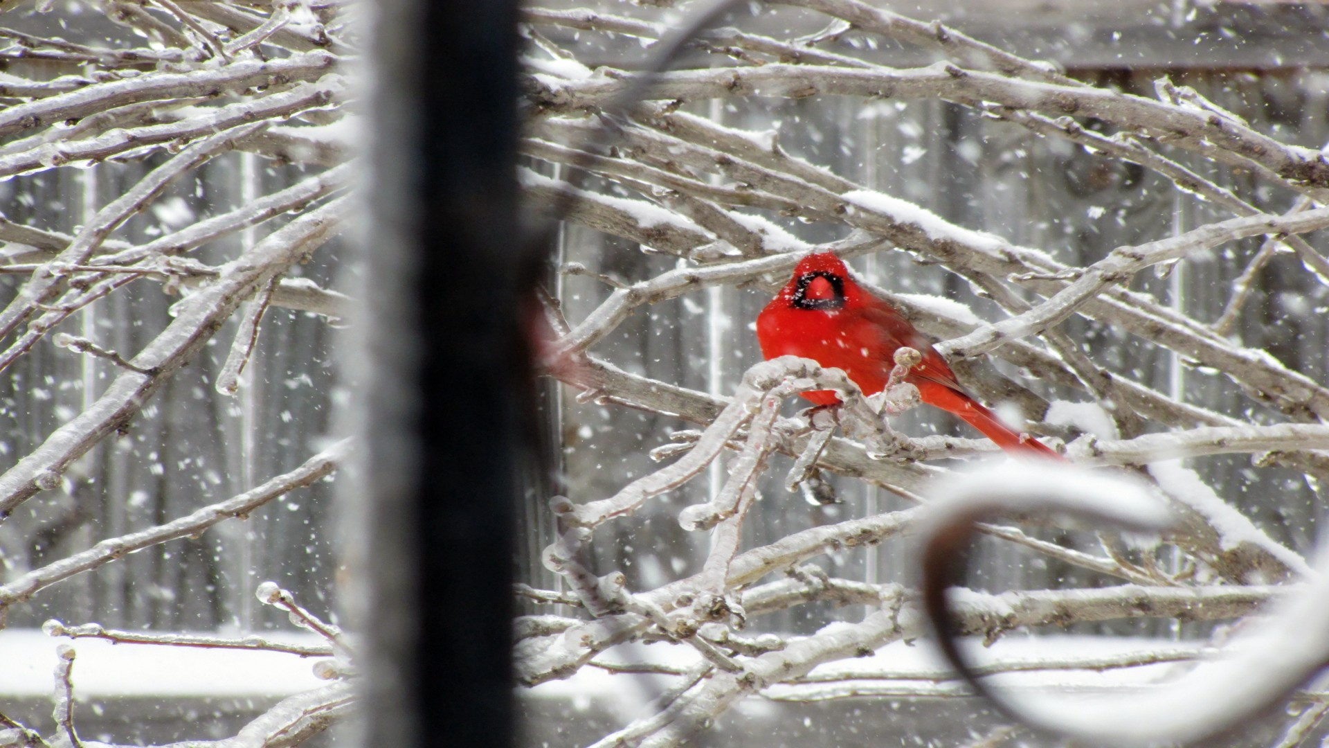 Cardinal Bird in Snow images 1920x1080