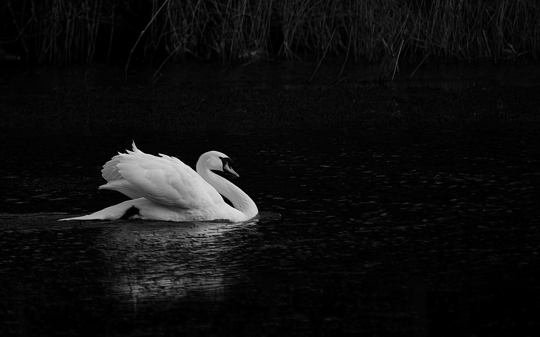 Animal   Mute Swan Wallpaper 2048x1277