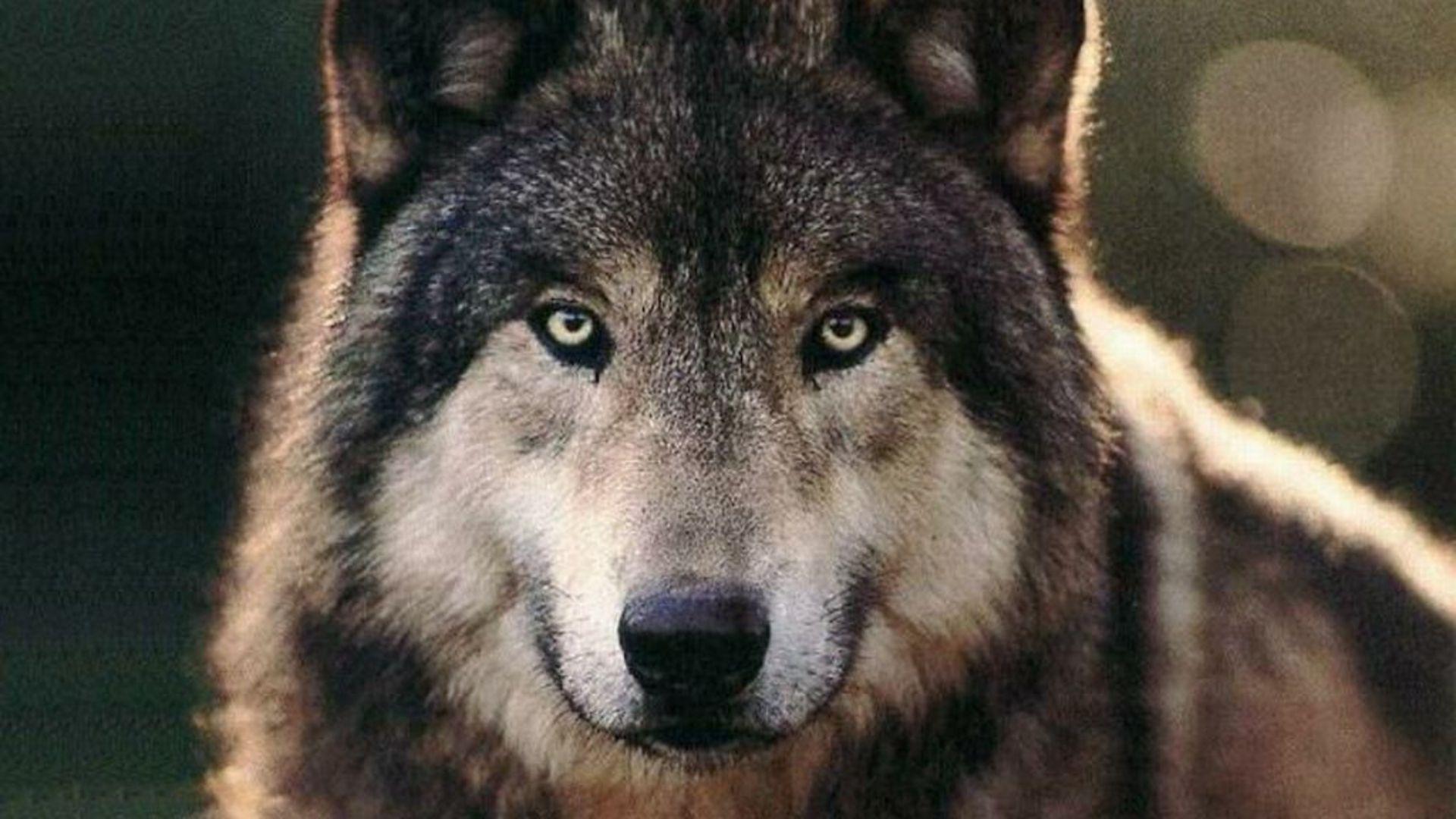 Download Wolf Wallpaper 1920x1080 Wallpoper 270684 1920x1080
