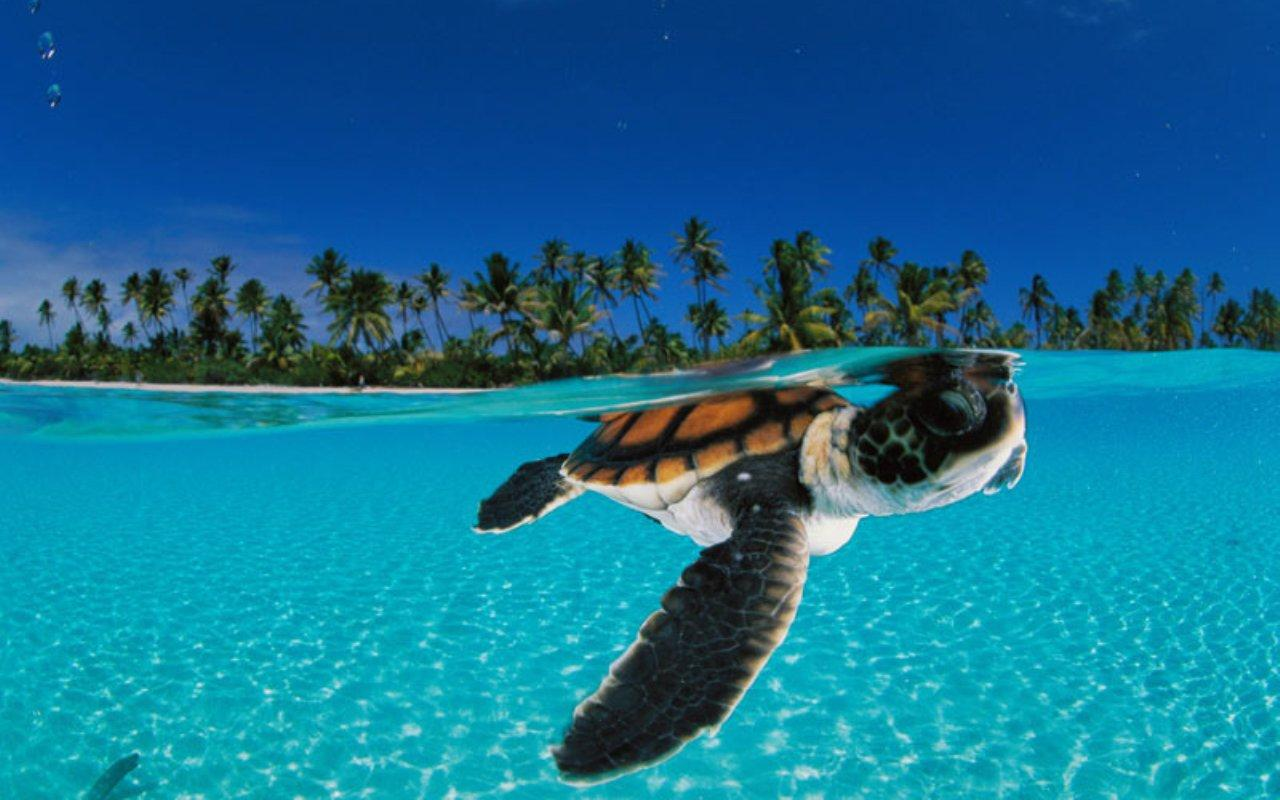 Touch Sea Turtle Live Wallpaper for Android htc First   New HTC 1280x800