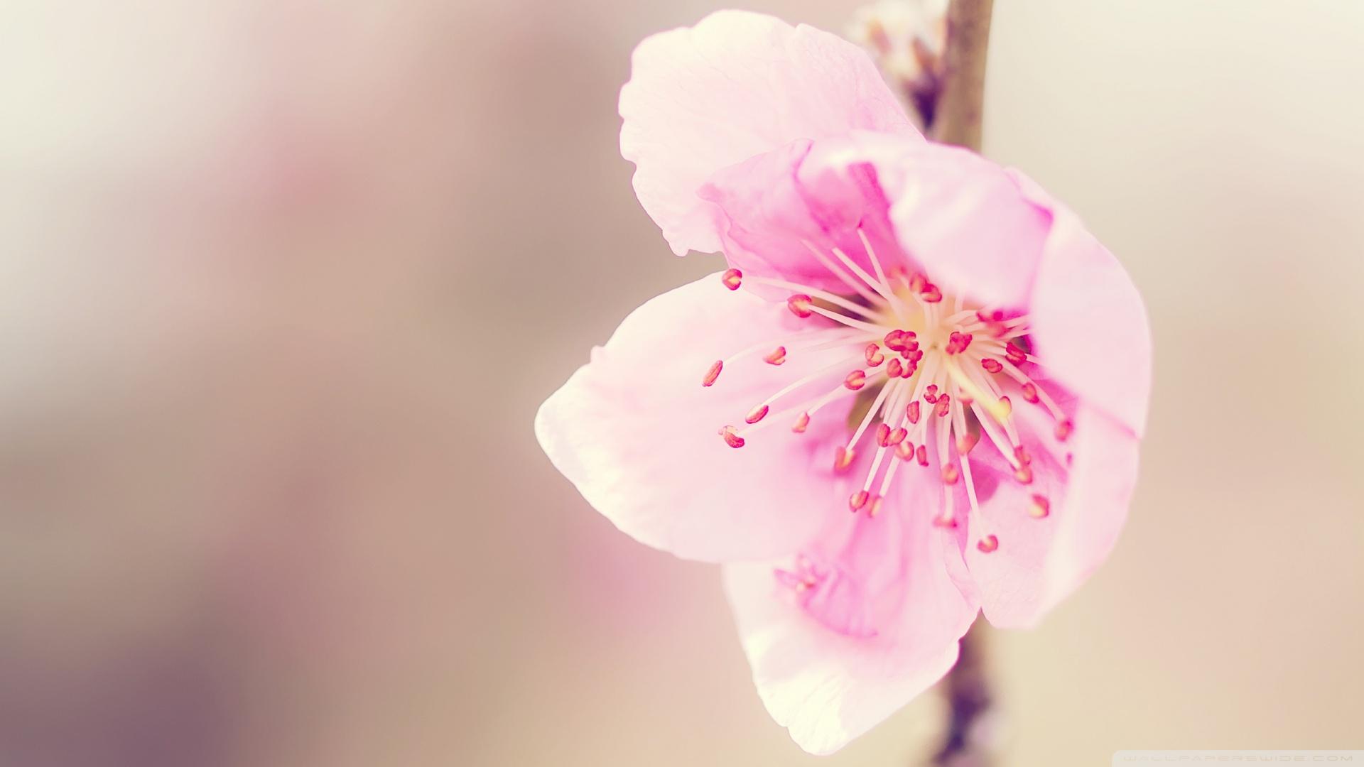 Pretty Pink Flower Wallpaper 1920x1080 Pretty Pink Flower 1920x1080