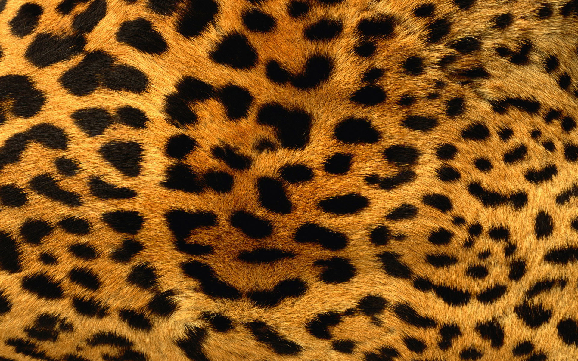 Cheetah Print Wallpaper loopelecom 1920x1200