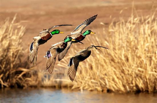 Goose Hunting Wallpapers Waterfowl feathers mallard 550x361
