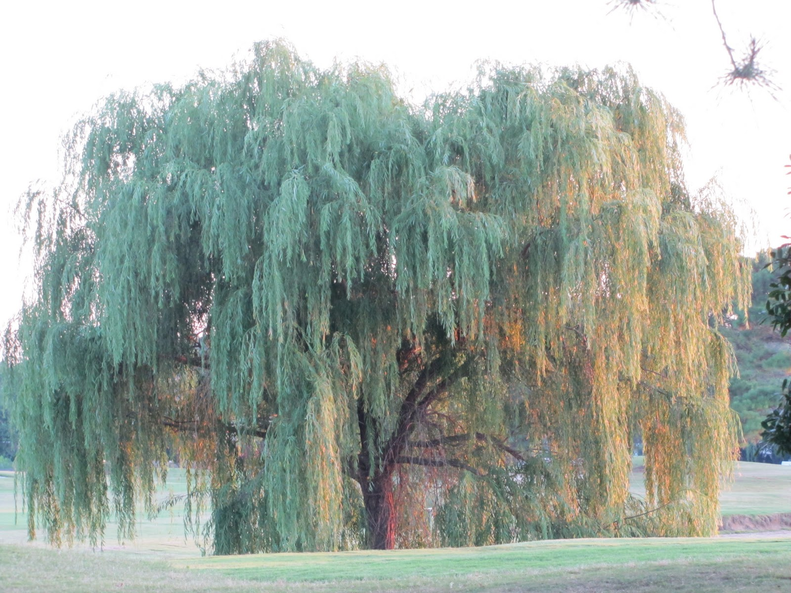 Beautiful Weeping Willow Tree Wallpaper Weeping willow tree 1600x1200