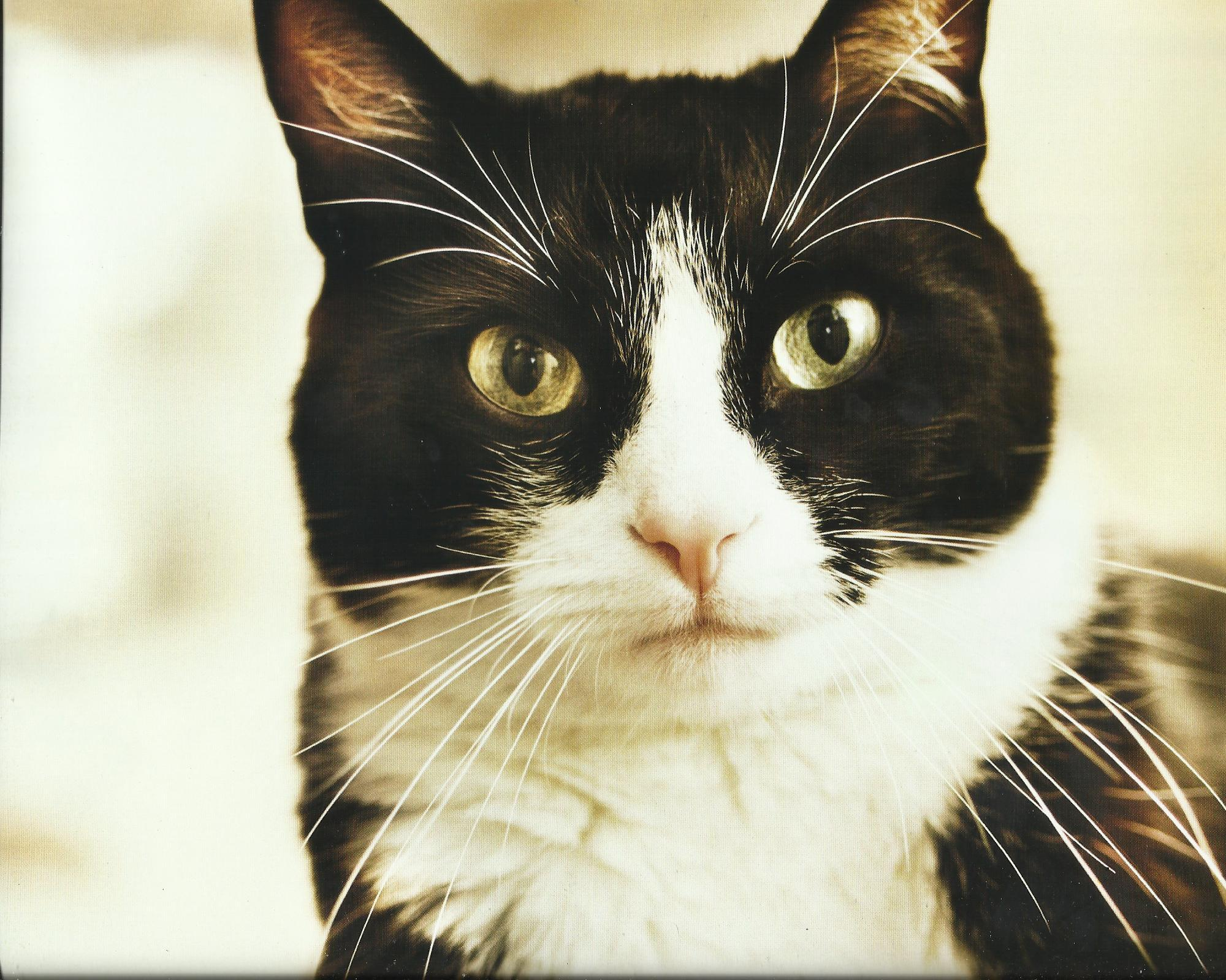 44 animal tuxedo cat wide hd wallpaper download tuxedo cat images 2000x1600