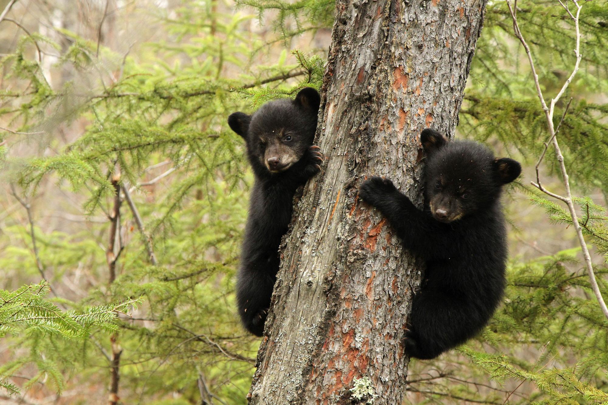 Baby black bear pictures Baby Bear: Kadir Nelson: : m: Books