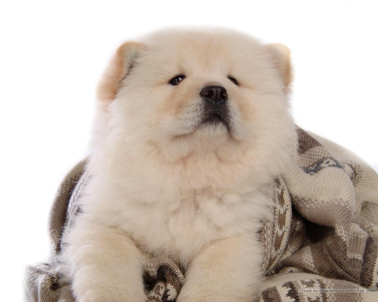 Chow Chow Wallpaper   Dogs Wallpaper 13936810 1280x1024