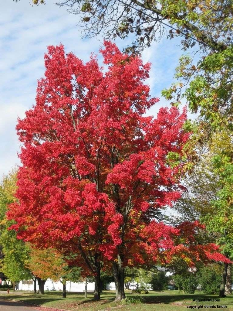 Blazing Red Maple Autumn Splendor in Augusta Wisconsin on Perkins 768x1024
