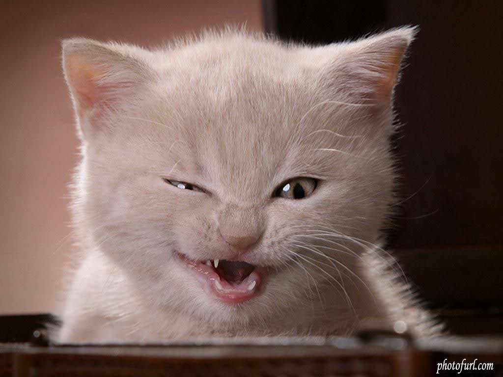 Funny Cat Wallpapers For Desktop Wallpapersafari