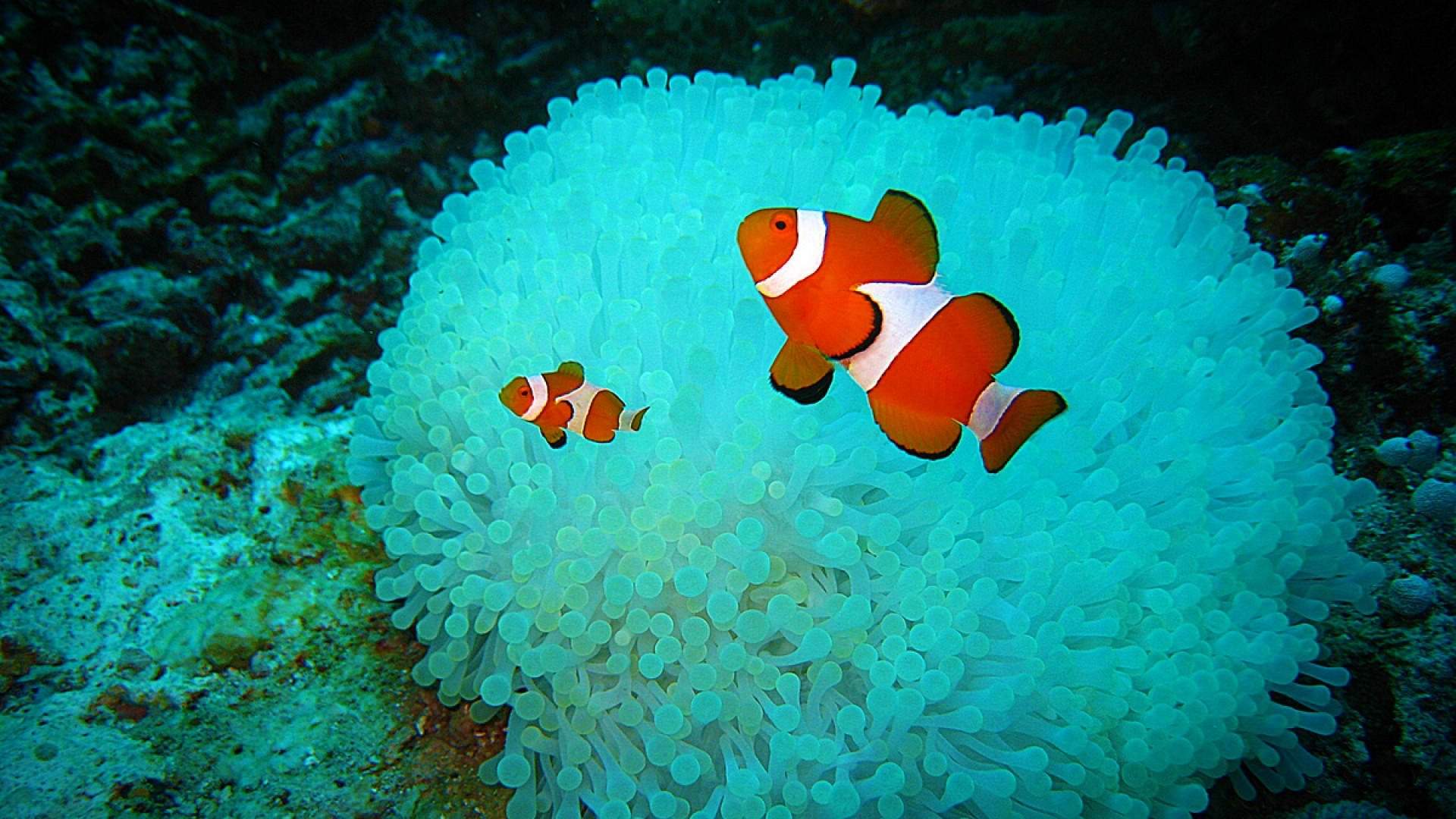 Download Clown Fish Wallpapers 1920x1080