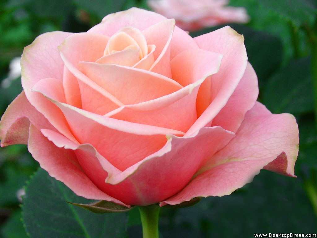 wallpapers flowers gardens backgrounds rose pale pink2 rose pale pink2 1024x768