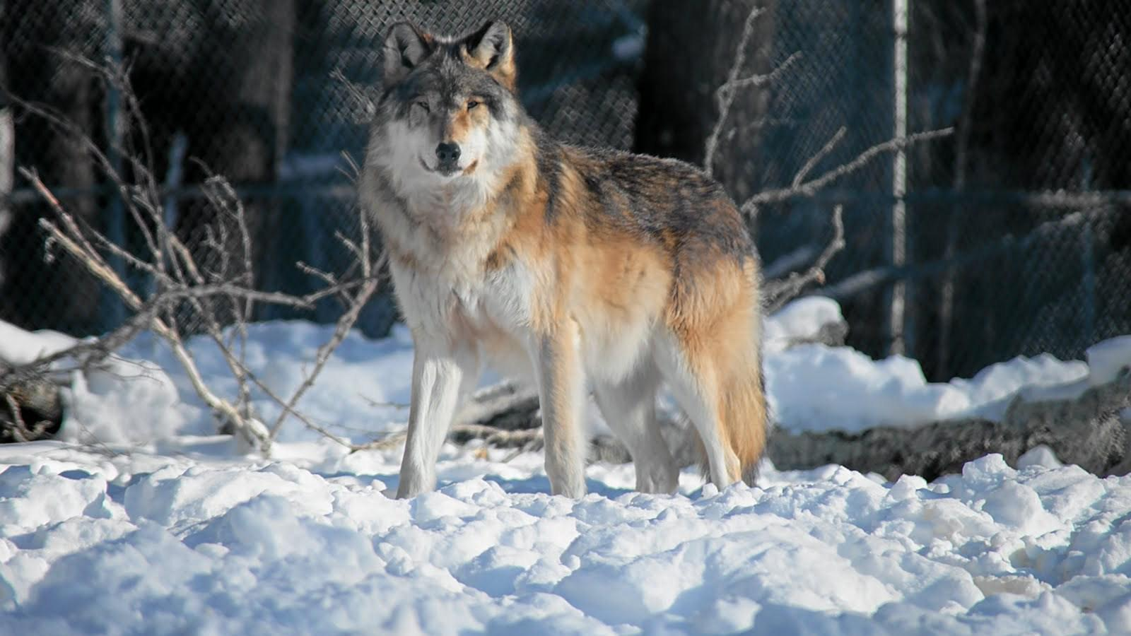 Gray Wolf Wallpaper HD...