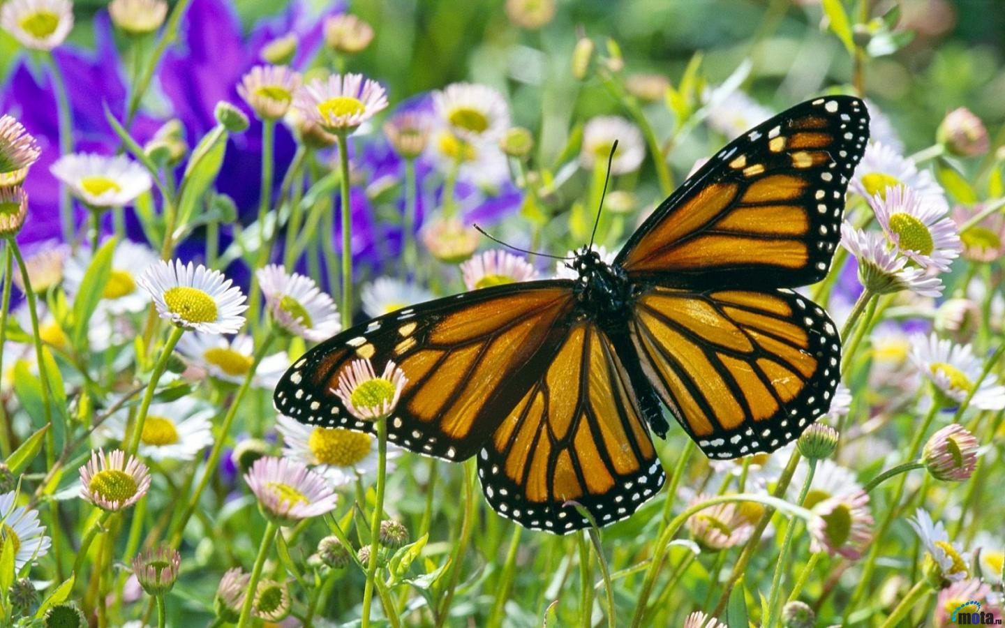 Download Wallpaper Monarch Butterfly in a Daisy Field 1440x900