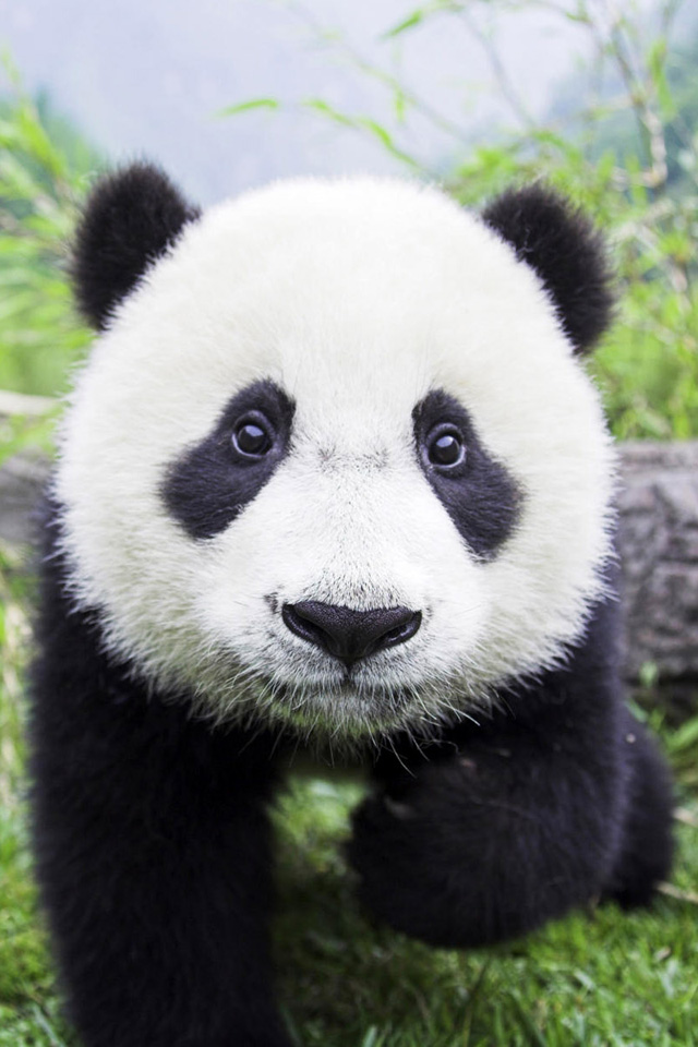 Panda Bear Closeup iPhone 4s Wallpaper Download iPhone Wallpapers 640x960