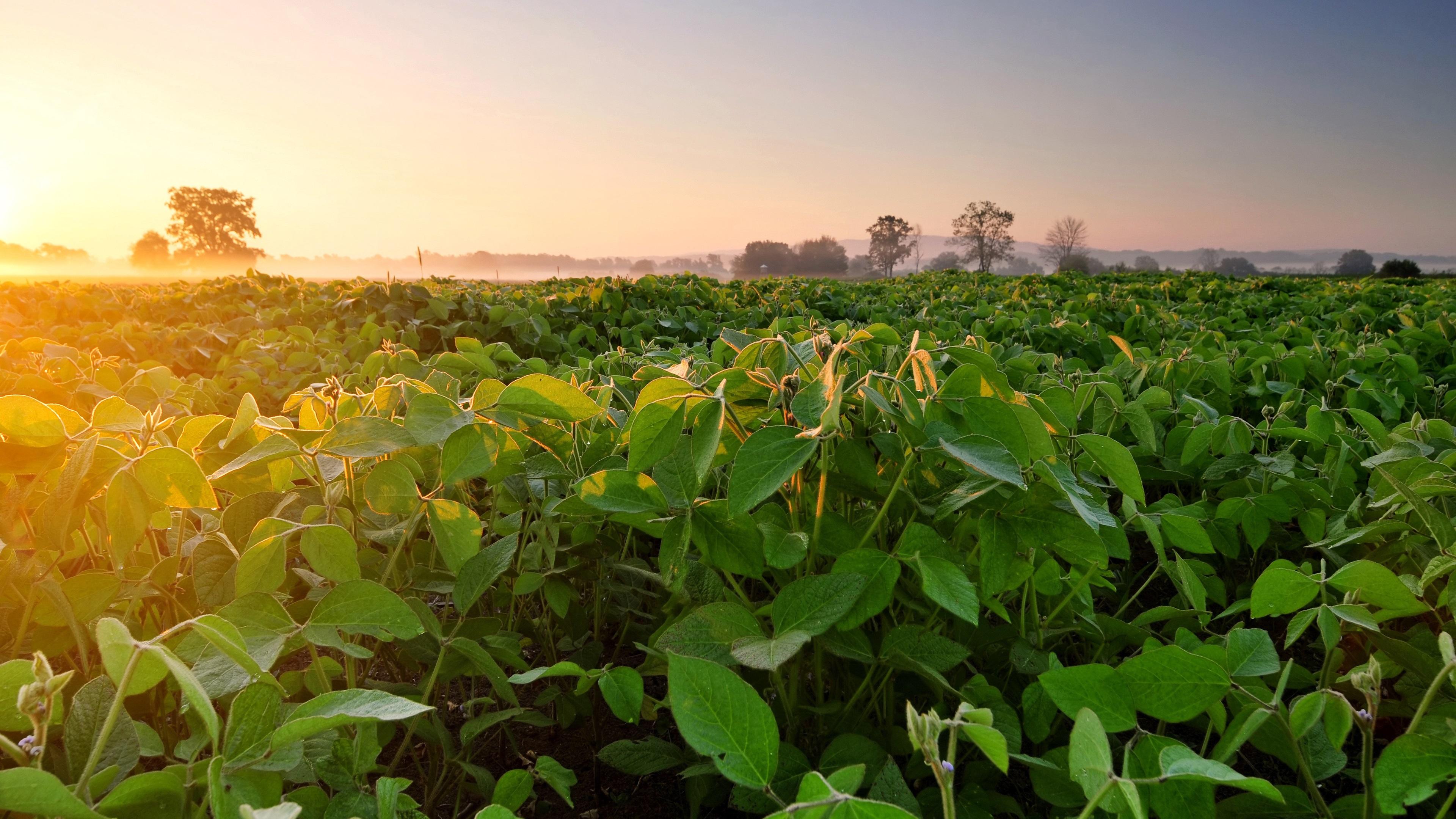 Wallpaper Soybean field fog dawn morning 3840x2160 UHD 4K 3840x2160