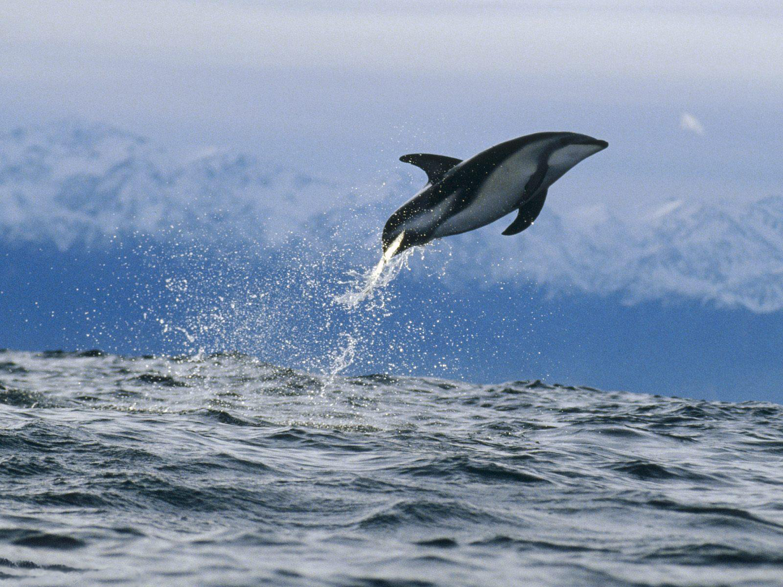 The best top desktop dolphin wallpapers hd dolphins wallpaper 24jpeg 1600x1200