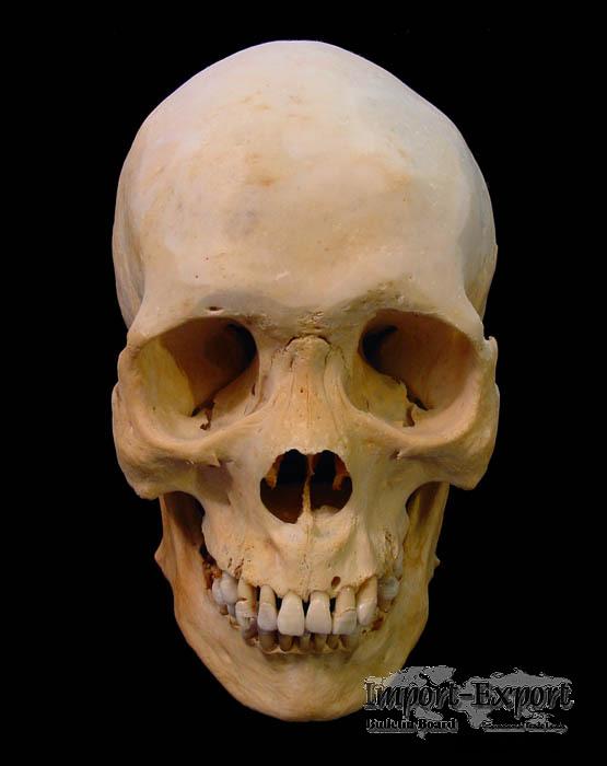 www hdwalls xyz real human skulls for sale real human skulls for sale 555x700