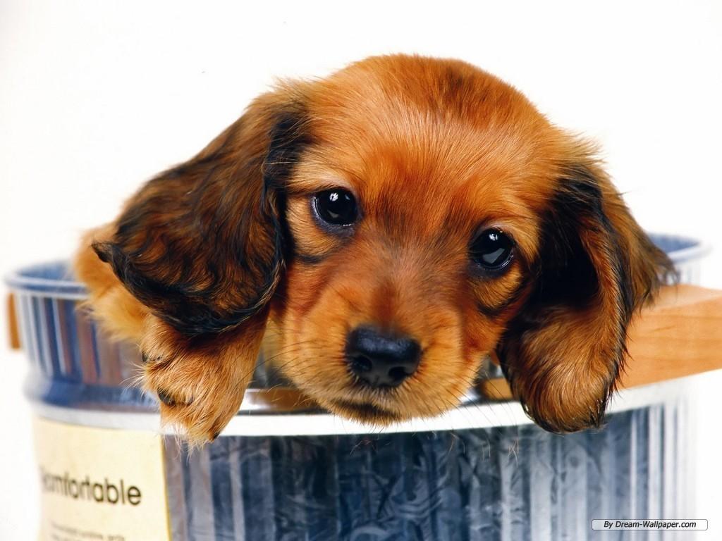 Download Mini Dachshund Wallpaper Dogs Wallpaper 7014528 [1024x768 1024x768