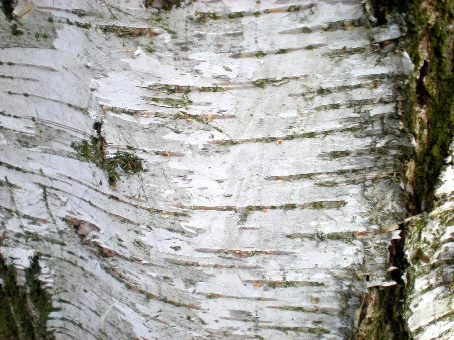 Birch Bark Wallpaper I By Rockgem 900x675
