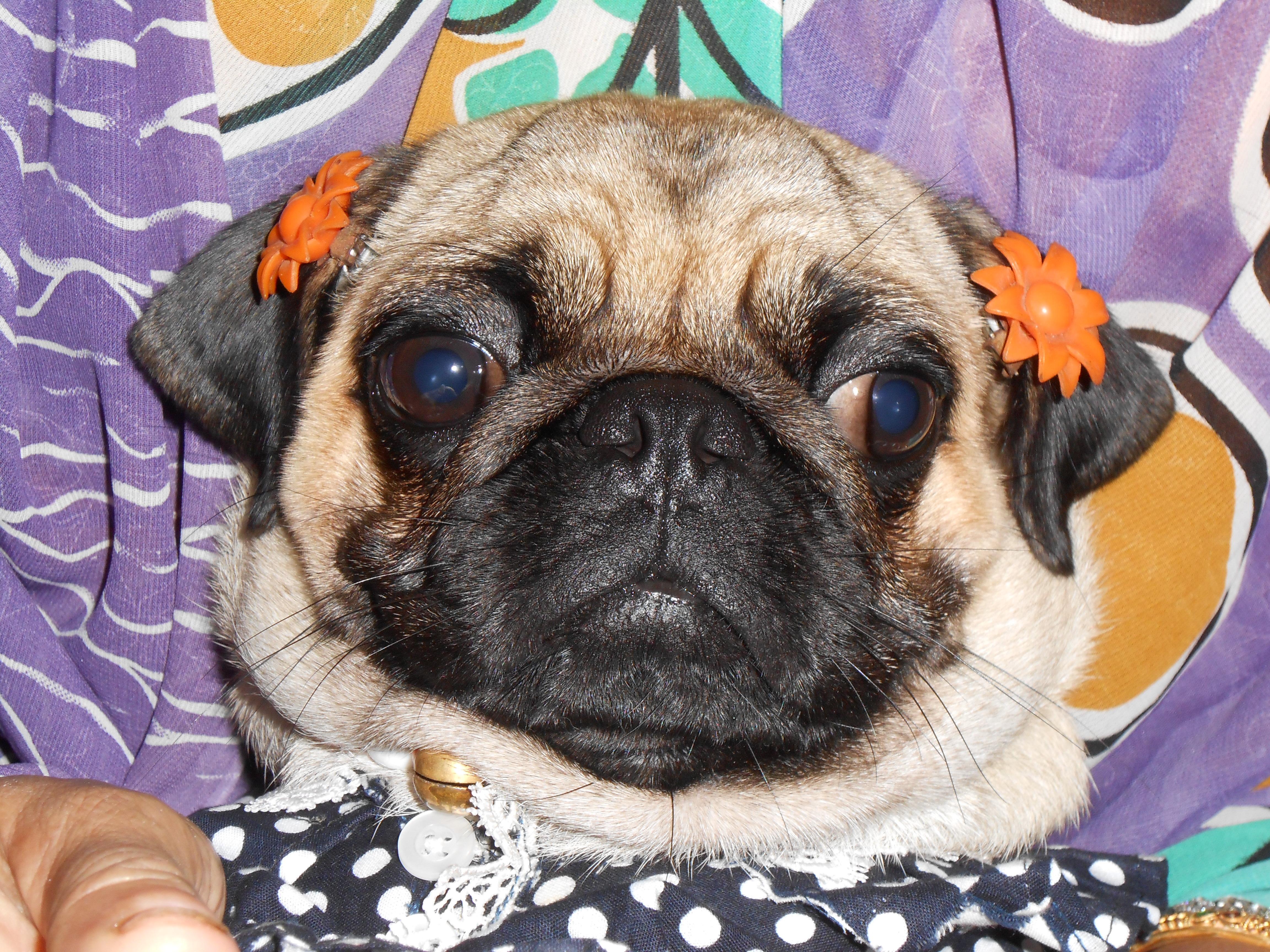 funny sad pug dog easter bunny pugs photo 4608x3456