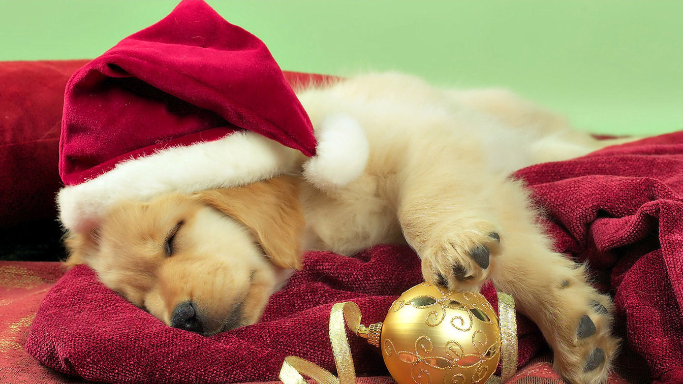 Free Download Christmas Cute Puppy Golden Retriever Wallpaper 1344x756 For Your Desktop Mobile Tablet Explore 49 Christmas Puppy Desktop Wallpaper Cute Puppy Desktop Wallpaper Boxer Puppy Desktop Wallpaper Summer