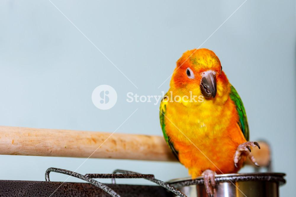 Sun parakeet parrot with nature background Sun conure bird Royalty 1000x667