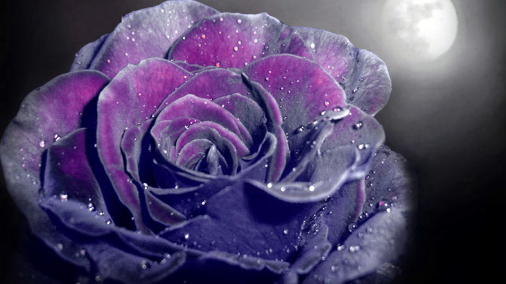 Purple Roses Background Images: Purple Rose Background