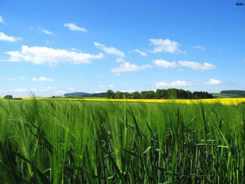 Related wallpapers nature plant corn field 500x375