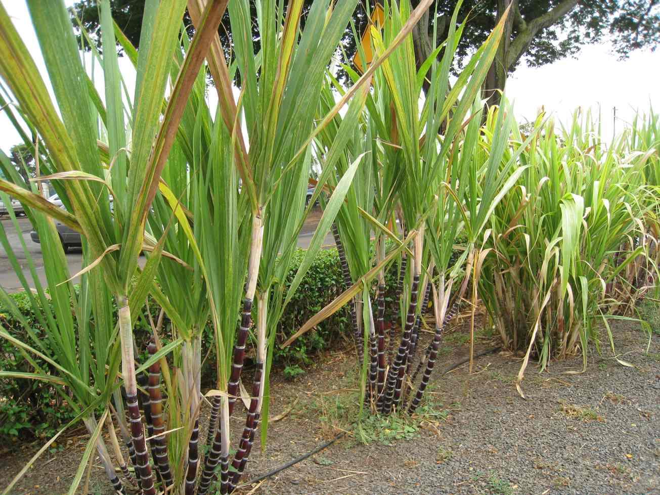 Sugarcane Wallpapers 1305x979