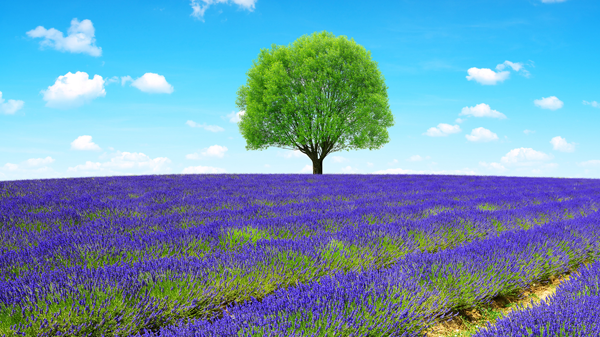 Pictures Provence France Nature Fields Lavandula Trees 1920x1080 1920x1080